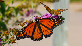 Monarch & Painted Lady Butterfly. A pair of butterflies spread their wings as they drink the nectar of a butterfly bush Stock Photos