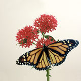 Monarch on Penta. A monarch butterfly on red penta Royalty Free Stock Photo