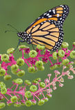Monarch on Poke Weed. A Monarch butterfly is sitting on poke weed Royalty Free Stock Image