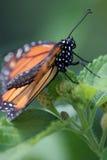 Monarch-Profil Stockfotografie