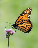 Monarch. Profile Portrait of a Monarch Butterfly Perching on a Verbena Flower royalty free stock photography