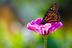 Monarch on Purple Flower. Monarch Butterfly on Purple Flower with Green Stem stock photos