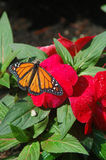 Monarch Red Flower. Monarchon a red flower with water droplets Stock Photo
