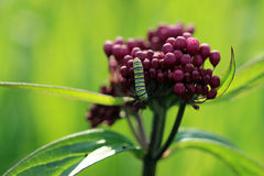 Monarch rest. Monarch butterfly resting on a swamp milkweed flower in the morning light stock photos