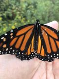 Monarch landed on my hand stock photo