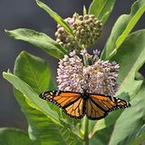 Monarch's Favorite Flower. A Monarch butterfly drinks the nectar from a Milkweed plant. The Milkweed plant plays an integral part of the Monarch butterflies' Royalty Free Stock Image