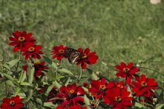 Monarch`s morning rest. A stunning Monarch butterfly lands on a bright red flower to rest stock photography