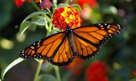 Monarch in seinem ganzem Ruhm auf Lantana stockfotos