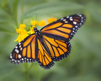 Monarch. A single monarch butterfly pollinating the flowers Royalty Free Stock Images