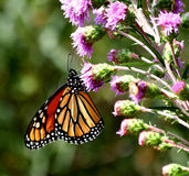 Monarch. Sipping nectar from a prairie blazing star Royalty Free Stock Images