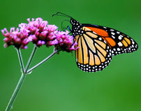 Monarch. Sipping nectar from a verbena flower Royalty Free Stock Image