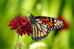 Monarch. It is really summer when I see my first monarch butterfly Stock Image
