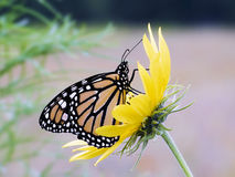 Monarch on Sunflower. A monarch butterfly sits atop a miniature sunflower blossom Stock Images