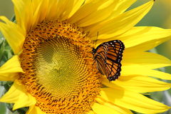 Monarch on sunflower Royalty Free Stock Images