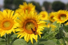 Monarch on sunflower. Closeup of monarch butterfly on sunflower flower royalty free stock image