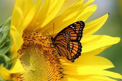 Monarch on sunflower royalty free stock photos