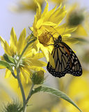 Monarch and Sunflowers in the Meadow Stock Photo