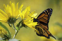Monarch and Sunflowers in the Meadow 2 Stock Image