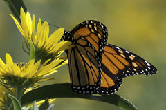 Monarch and Sunflowers in the Meadow 3 Royalty Free Stock Photos