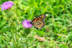 Monarch on Thistle royalty free stock images