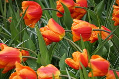 Monarch tulip. Orange Monarch tulip and green leaf in garden in Holland stock photography