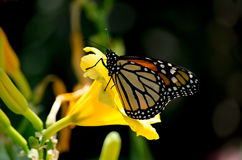 Monarch und Nektar Stockbilder
