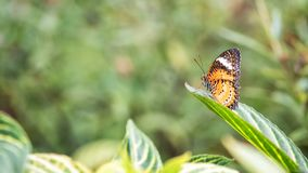 Monarch or Viceroy butterfly with nature background. Monarch or Viceroy orange butterfly stand on green leaf with natural foliage blurred background with copy royalty free stock image