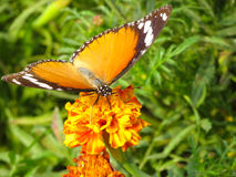 Monarch viceroy orange butterfly on flower Stock Photo