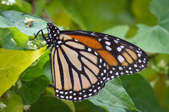Monarch on Vine Macro Royalty Free Stock Images