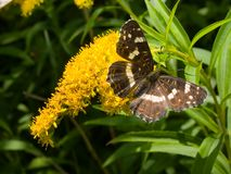 monarch vlinder op bloem Royalty-vrije Stock Afbeeldingen