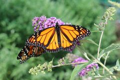 Monarch Wanderer Butterflies on a purple flower with shallow d Stock Image