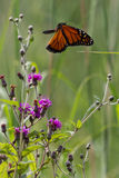 Monarch Wave in Flight. A brilliant monarch butterfly is cruising above the prairie with its wings down and its abdomen out behind as it flies over prairie wild stock photo