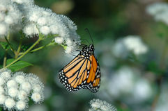Monarch on white flowers Royalty Free Stock Photo