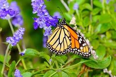 Monarch (Danaus plexippus) gathering nectar from small violet fl Royalty Free Stock Photos