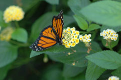 Monarch on yellow flowers Royalty Free Stock Images