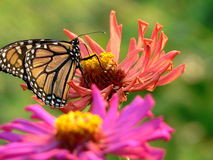 Monarch on zinnia Royalty Free Stock Photography