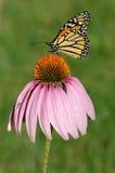 monarcha Zdjęcie Royalty Free