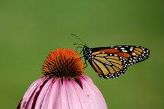 monarcha Obrazy Stock