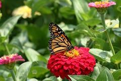 Monarcha Buttefly Zdjęcie Stock