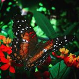 Monarcha Flutterby Zdjęcie Royalty Free