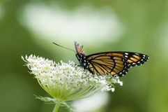 monarcha motyla Obraz Stock