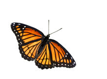 monarcha motyla Obrazy Royalty Free