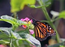 monarcha motyla zdjęcie royalty free
