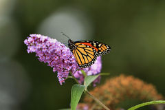Monarchbasisrecheneinheit lizenzfreie stockbilder