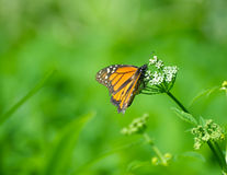 Monarchbasisrecheneinheit. stockbilder