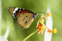 Monarchbasisrecheneinheit Lizenzfreie Stockfotografie