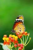 Monarchbasisrecheneinheit Stockbilder
