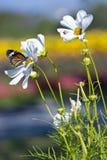 Monarchbasisrecheneinheit, die auf einer weißen Blume stillsteht Lizenzfreie Stockbilder