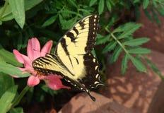 Monarchbasisrecheneinheit, die eine Blume am Sommertag genießt Stockfotos