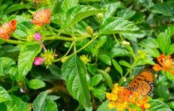 Monarchbasisrecheneinheit im Garten Lizenzfreies Stockbild